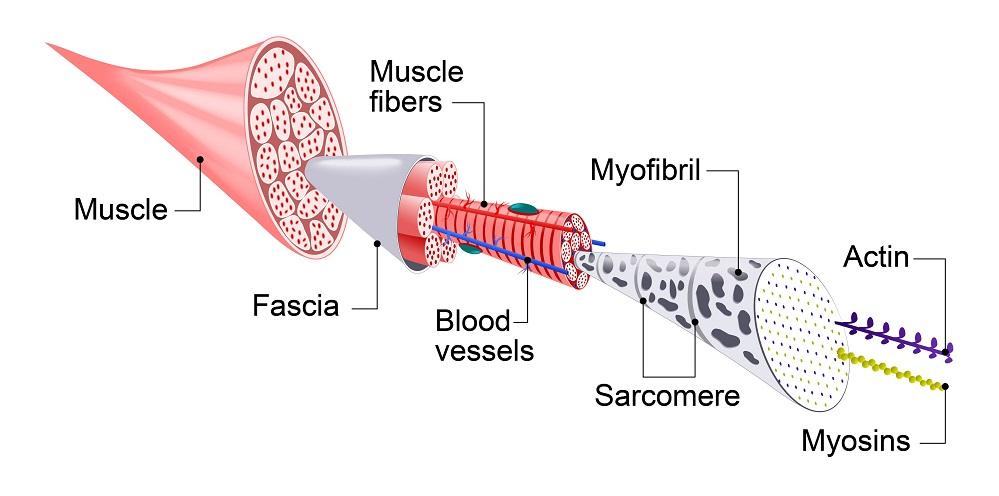 muscle tissue anatomy